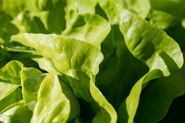 Growing lettuce and gardens in Las Vegas